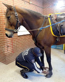 Ghee puts boots on his horse Chief.