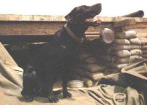 Sam, a black Labrador retriever purchased from the British military and used by several Combat Tracker Teams within the 1st Cavalry Division (Airmobile) during the Vietnam War, sits outside of his bunker awaiting his next mission at Landing Zone Two Bits in Bong Son, Vietnam, 1967. Combat Tracker Teams were small, highly-trained units usually consisting of five men and a Labrador retriever. Their purpose was to re-establish contact with the enemy and locate lost or missing friendly personnel. The methods used in completing these missions were visual and Canine Tactical Tracking. (Courtesy photo)