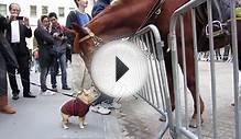 Adorable Dog (Frenchie!) Plays with NYPD Police Horse on