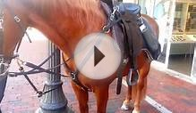 Miami Police Horse Eats On The Job